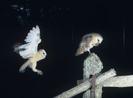 Owl : Barn owls perching on fence post