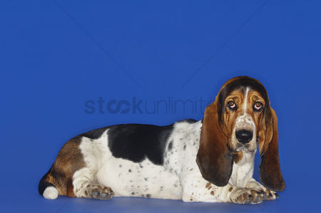 Dogs : Basset hound lying down head up