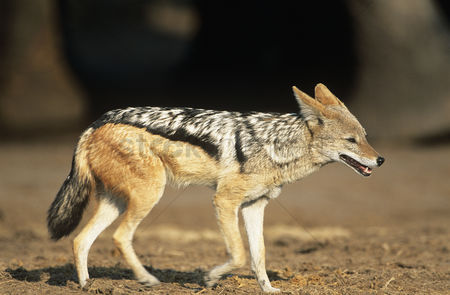 Animals in the wild : Black-backed jackal  canis mesomelas  on savannah