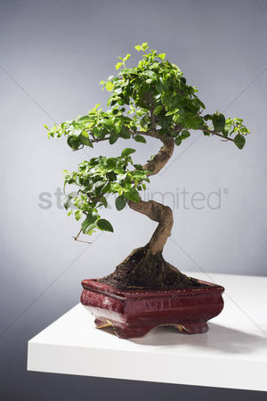 Houseplant : Bonsai tree on table