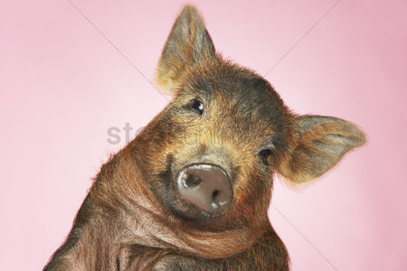 Animal head : Brown pig against pink background with head cocked close-up