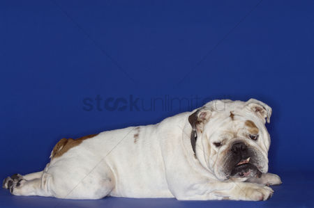Bulldog : Bulldog lying prone side view