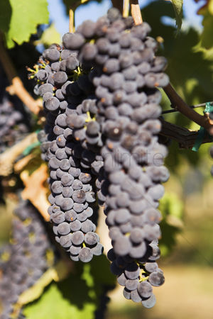 Grapes : Bunch of black wine grapes