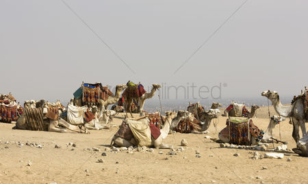 Large group of animals : Camels resting at site of pyramids