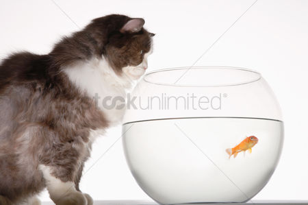 Bowl : Cat looking at goldfish in a fishbowl side view