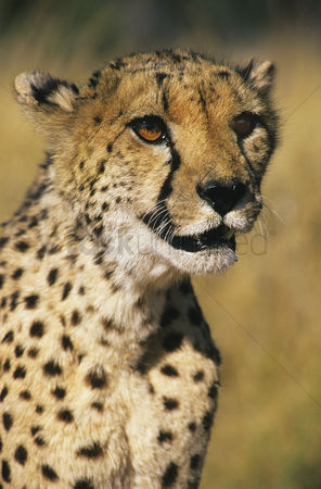 Alert : Cheetah  acinonyx jubatus  close-up