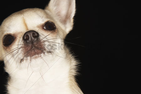 Dogs : Chihuahua close-up