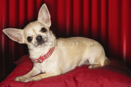 Alert : Chihuahua lying on red pillow