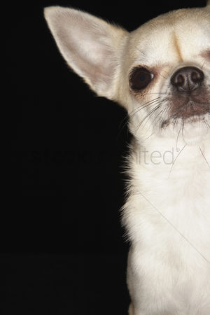Dogs : Chihuahua sitting close-up