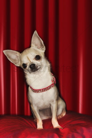Dogs : Chihuahua sitting on red pillow