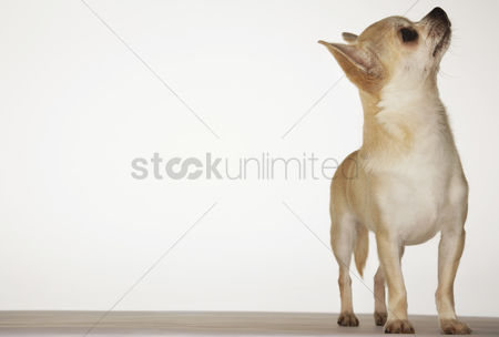 Dogs : Chihuahua standing looking up front view