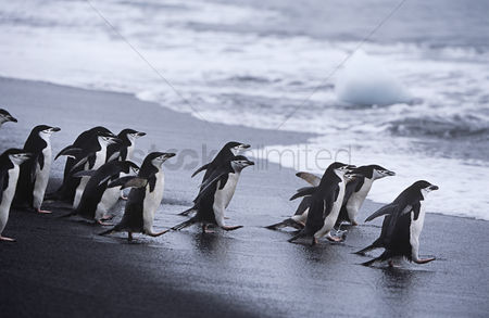 Large group of animals : Chinstrap penguins  pygoscelis antarcticus  colony walking into sea