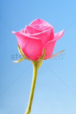 Floral : Close-up of pink rose on blue background