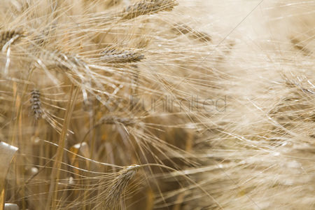 Land : Close-up of wheat