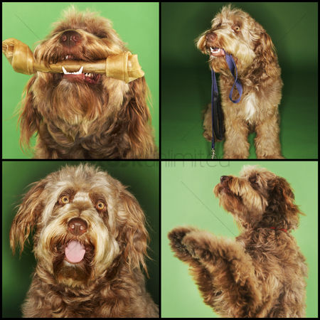 Domesticated animal : Collage of dog doing various activities over green background