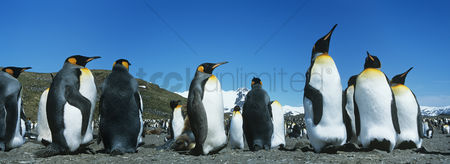Spring : Colony of penguins