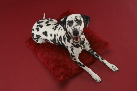 Domesticated animal : Dalmatian dog on pillow