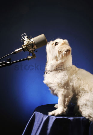 Adorable : Dog standing in front of a microphone