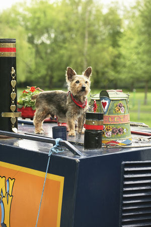 Alert : Dog standing on a houseboat