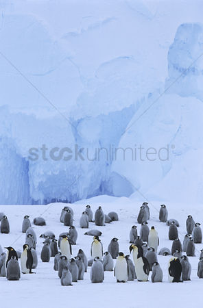 Large group of animals : Emperor penguin  aptenodytes forsteri  colony
