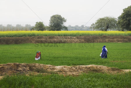 Land : Female farmers working in a field  sohna  gurgaon  haryana  india