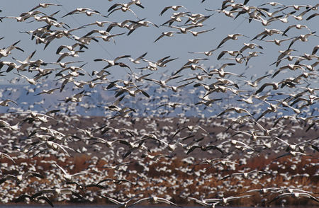 Large group of animals : Flock of snow geese  chen carelessness  in flight