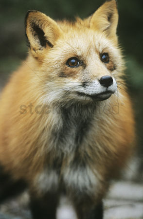 Alert : Fox close-up