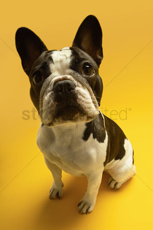 Looking at camera : French bulldog on yellow background