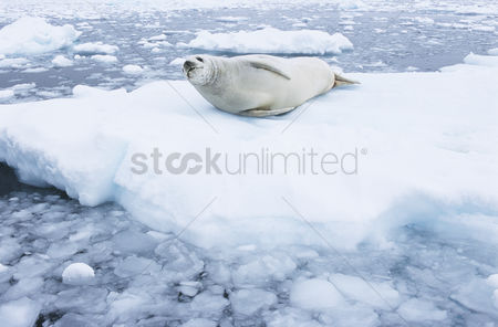 Animals in the wild : Fur seal lying on ice flow