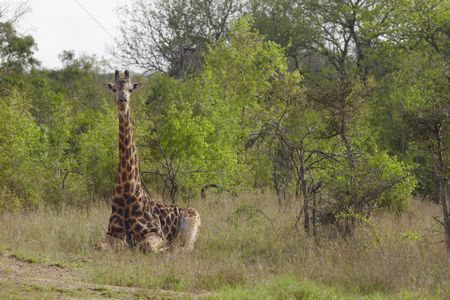 African wildlife : Giraffe sits in african plains