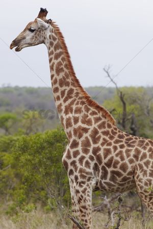 African wildlife : Giraffe stands side view profile