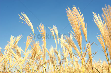 Land : Golden barley wheat field in summer
