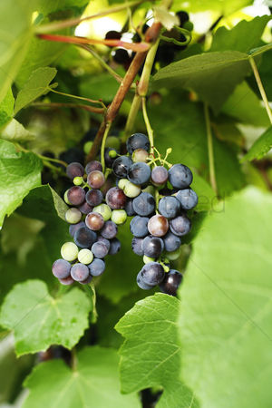 Green grapes : Grapes on grapevine