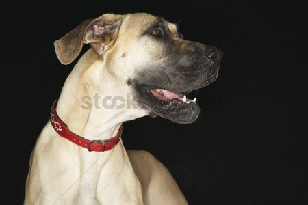 Domesticated animal : Great dane