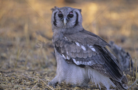 Alert : Grey owl on ground