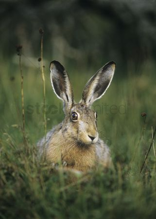Alert : Hare sitting on grass