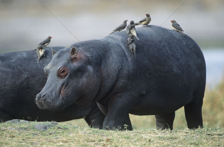 Large group of animals : Hippopotamus  hippopotamus amphibius  with birds on back