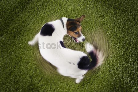 Dogs : Jack russell terrier chasing tail view from above