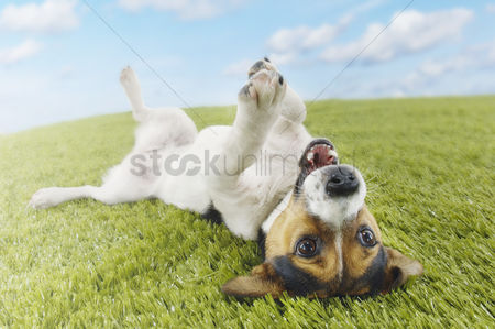 Dogs : Jack russell terrier lying on back in grass extending paw