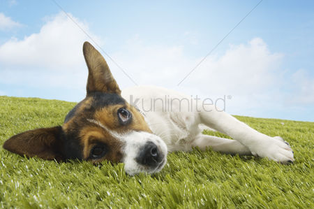 Grass : Jack russell terrier lying on side looking up front view