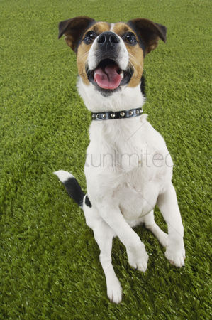 Dogs : Jack russell terrier sitting on hind legs elevated view