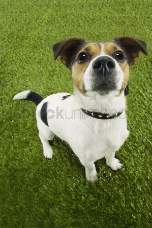 Dogs : Jack russell terrier standing looking up elevated view