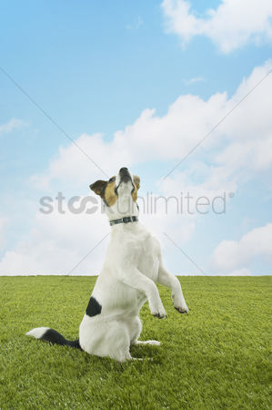 Dogs : Jack russell terrier standing on hind legs