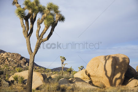 Remote : Joshua trees and rocks in desert