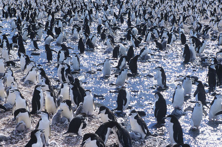 Large group of animals : Large colony of penguins gathering on ice