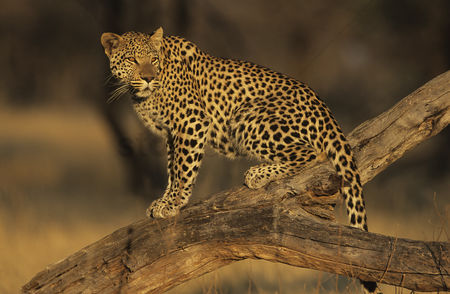 Alert : Leopard  panthera pardus  standing on branch