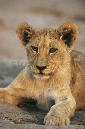 Animals in the wild : Lion resting close-up