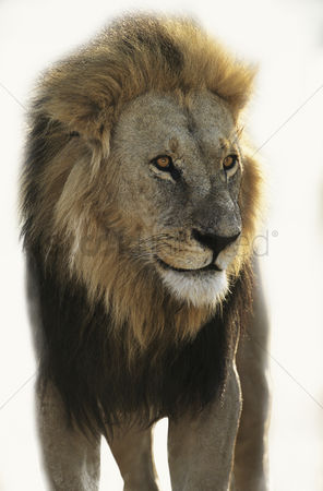 Lion : Lion standing and looking away over white background