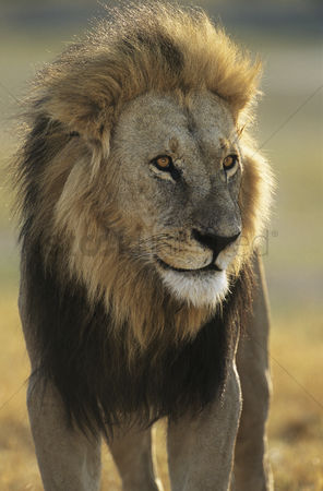 Proud : Male lion