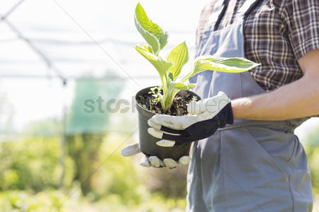 Greenhouse : Midsection of gardener holding potted plant at nursery